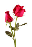 Bunch of red roses.Beautiful bunch of red roses isolated on white background. Royalty Free Stock Image