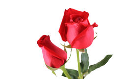Bunch of red roses Royalty Free Stock Image
