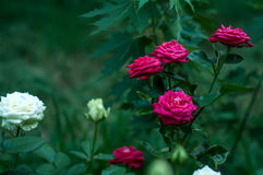 Bunch of red roses on a bush Stock Images