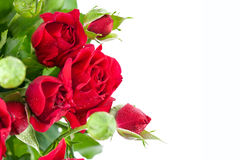 Bunch red roses greeting card Royalty Free Stock Photo