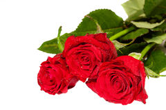Bunch of red roses isolated on white Stock Images