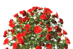 Bunch of red roses. On white background Stock Image
