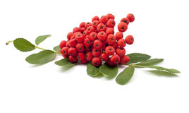 Bunch of red rowan. On a white background Stock Image