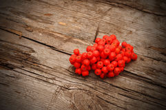 Bunch of red rowan Royalty Free Stock Image