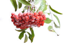 Bunch of red rowan Stock Photography