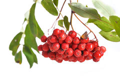 Bunch of red rowan Royalty Free Stock Images