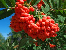 Bunch of red rowan berries Royalty Free Stock Image