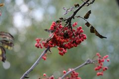 Bunches of Rowan stock images