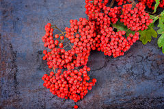 Bunch of red rowan berries Stock Photography