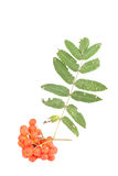 Bunch of red rowan berries and leaves isolated on white backgrou Stock Photography