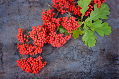 Bunch of red rowan berries and oak leaves Stock Image
