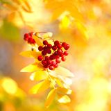 Bunch of red rowan berries on yellow autumn leaves bokeh background close up royalty free stock images