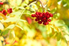 Bunch of red rowan berries on yellow and green autumn leaves bokeh background close up stock image