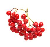 Red Rowan, isolated on whited. Bunch of red Rowan food fresh Stock Photos