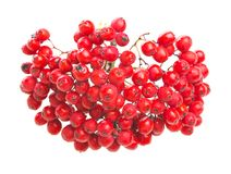 Red Rowan, isolated on whited. Bunch of red Rowan food fresh Royalty Free Stock Photography