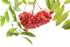 Bunch of red rowan Royalty Free Stock Photos