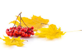 Bunch of  red rowan on a maple autumn leaves on a white backgrou. Bunch of  red rowan on a maple autumn leaves Royalty Free Stock Photo