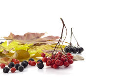 Bunch of red rowan and small black rowan berries on autumn leave Royalty Free Stock Photo
