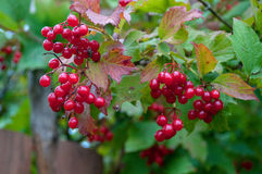 Bunch of red rowan surrounded by green leaves Royalty Free Stock Photo