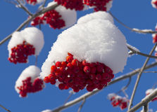 Bunch of red Rowan under a cap of snow Royalty Free Stock Images