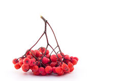 Bunch of red rowan on a white background. Red rowan on a white background Royalty Free Stock Photography