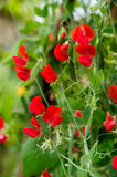 Bunch of red sweet peas blossom Stock Photo