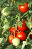 Bunch of red tomatoes in greenhouse Stock Image