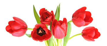 A bunch of red tulip Royalty Free Stock Photos