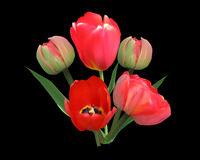 Bunch of red tulip flowers isolated on black Royalty Free Stock Photography