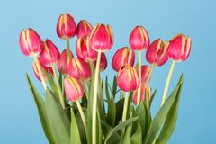 Bunch of red tulips on a blue background Royalty Free Stock Photos