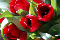 Bunch of red tulips Royalty Free Stock Photos