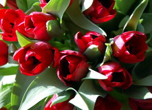 Bunch of red tulips Stock Photos