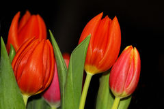 A Bunch of red tulips Royalty Free Stock Photos
