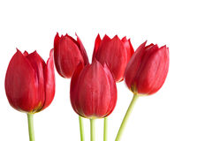 Bunch of red tulips Stock Photography