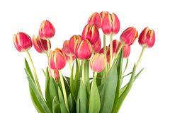 Bunch of red tulips on a white background Stock Photo