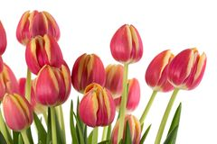 Bunch of red tulips on a white background. Bunch of beautiful red tulips on a white background Stock Photography