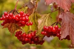 Bunch of red viburnum berries on a branch. Red viburnum branch in the garden. Viburnum viburnum opulus berries and leaves outdoor in autumn fall. Bunch of red stock photo