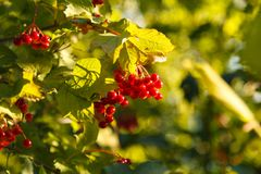 Bunch of red viburnum berries on a branch. Viburnum berries and leaves of viburnum in early autumn outdoors. Branch of red Viburnum in the garden. Viburnum stock image