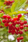 Bunch of red viburnum. At the branch grow clusters of red berries Viburnum Royalty Free Stock Images