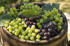 Bunch of red and white grapes. Bunch of grapes on top of a wooden barrel Stock Image