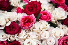 Bunch of red and white roses , closeup Royalty Free Stock Images