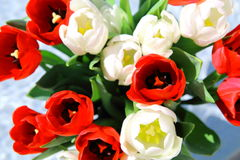 Bunch of red and white tulips Stock Photos