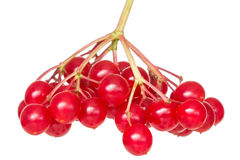 Bunch of red wild berries Stock Photos