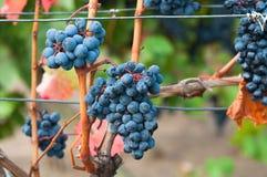 Bunch of red wine grape Bibor kadarka (Purple kadarka) Stock Image