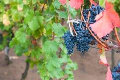 Bunch of red wine grape Bibor kadarka (Purple kadarka) Stock Photo