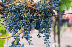 Bunch of red wine grape Cabernet Sauvignon Royalty Free Stock Image