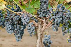 Bunch of red wine grape Stock Photography