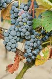 Bunch of red wine grape Royalty Free Stock Image