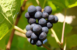 Bunch of red wine grapes Royalty Free Stock Image