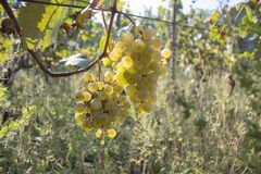 Bunch of red wine grapes hang from a vine, warm. Ripe grapes with green leaves. Nature background with Vineyard. ripe grapes in th. E vineyard. Wine concept Stock Images